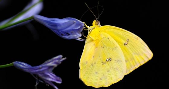 El secreto de Mauricio Babilonia y las mariposas amarillas